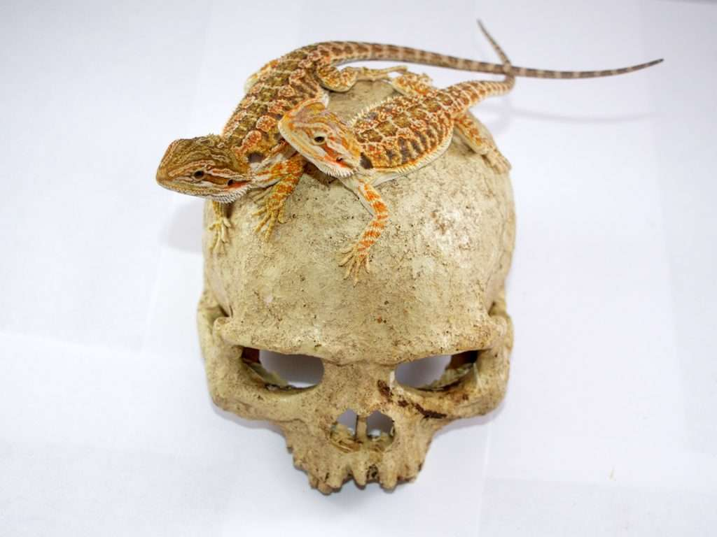 Baby Bearded Dragons on a skull prop.