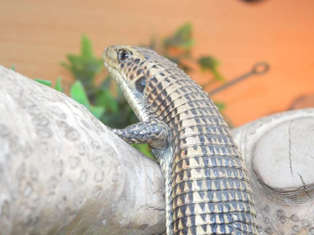 Plated Lizard on a log