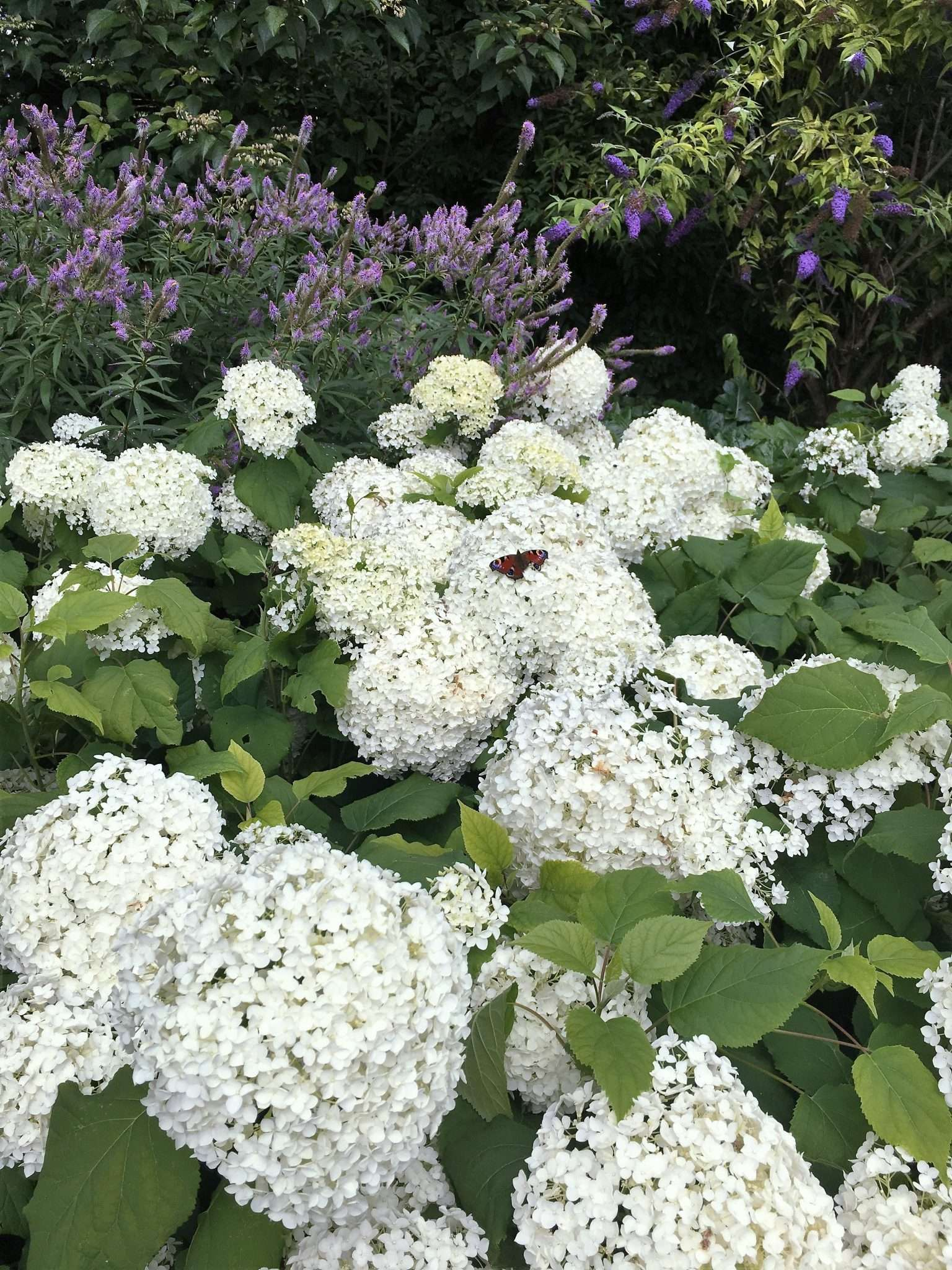 White hydrangea bush in bloom