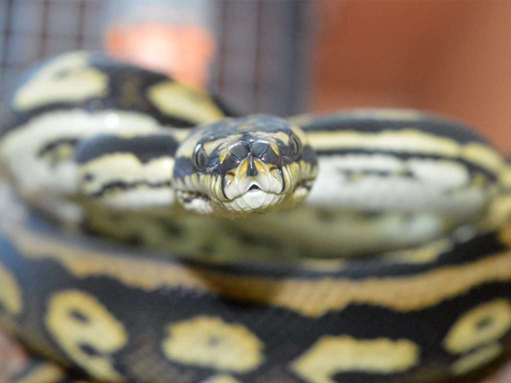 Carpet Python looking directly into the camera