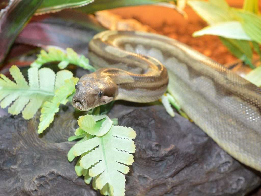Boa Constrictor on a branch with leaves