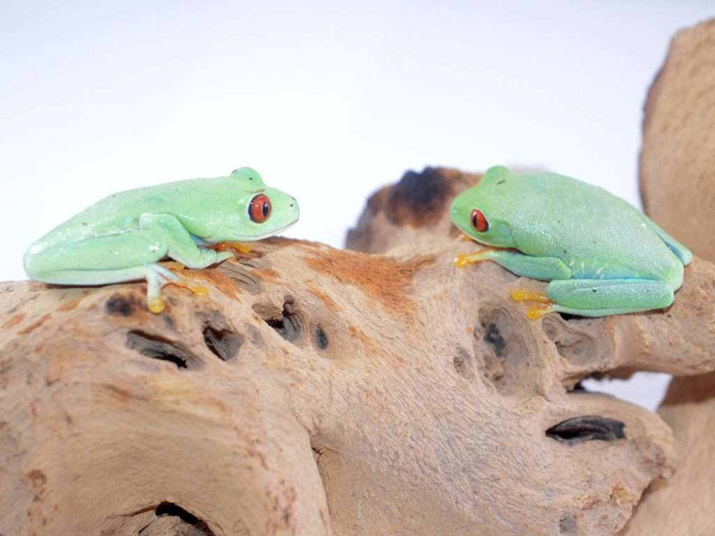Two Red Eyed Tree Frogs sitting on a branch