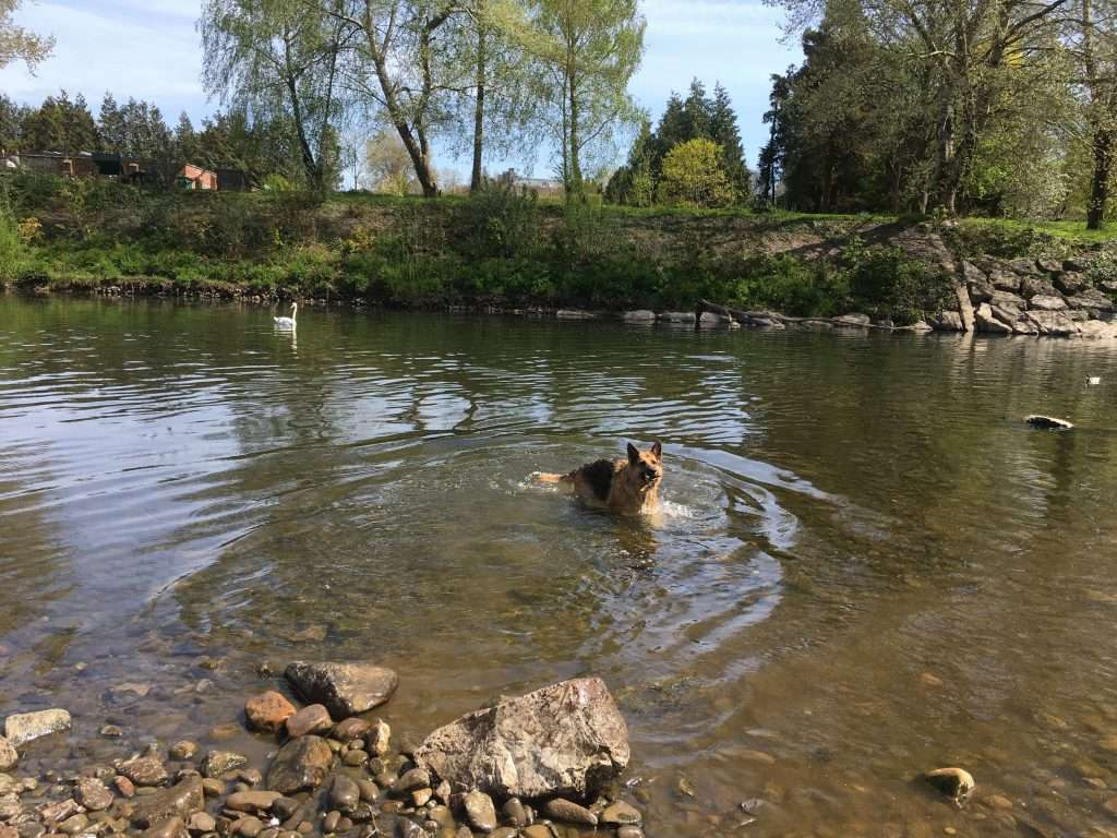 Skye (German Shepherd) swimming in a river.