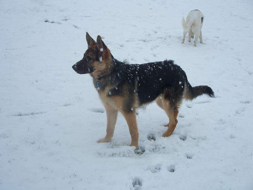 Skye (German Shepherd) standing in snow