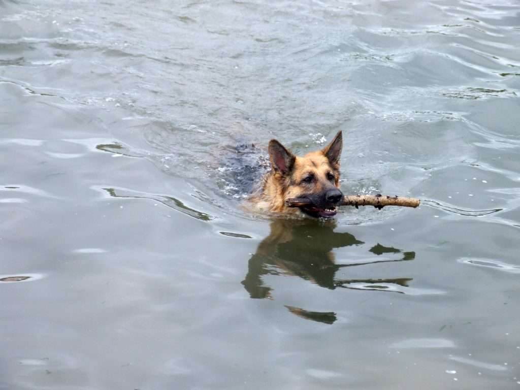 Skye (German Shepherd) swimming with a stick in her mouth.