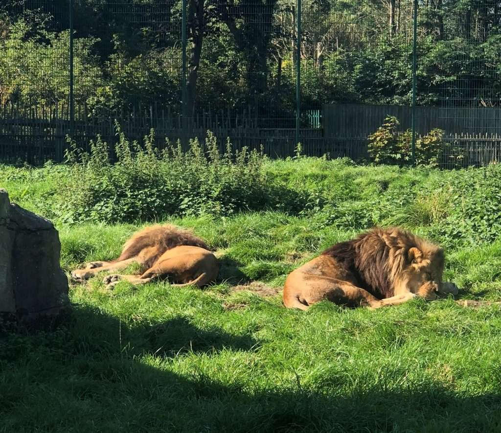 Lions at Blackpool Zoo
