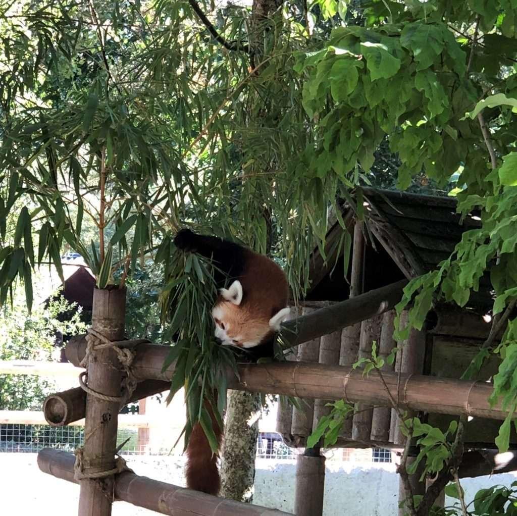 Red Panda at Blackpool Zoo